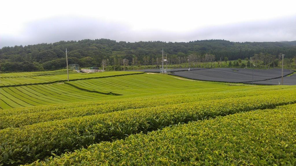 Teegarten auf Jeju