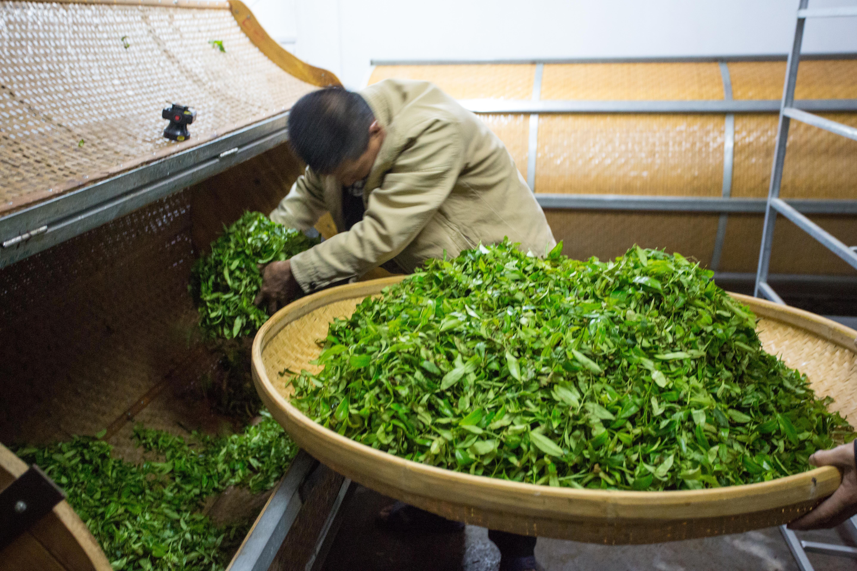 Bambustrommel wird mit Tee befüllt