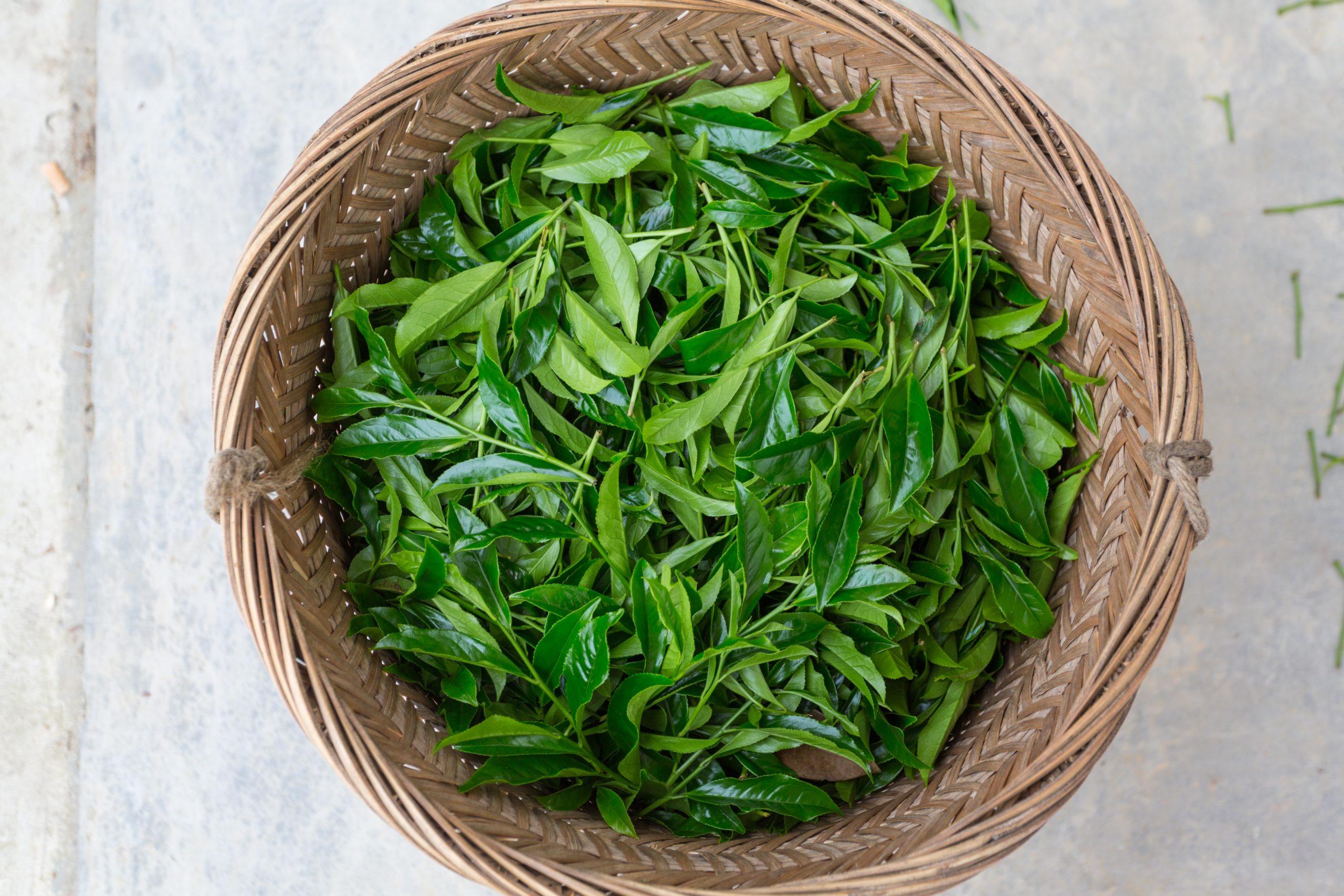 fresh picked tea leaves scaled
