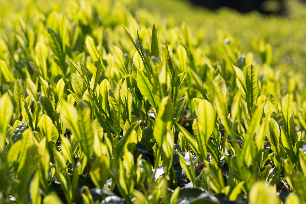 Yabukita Teepflanze