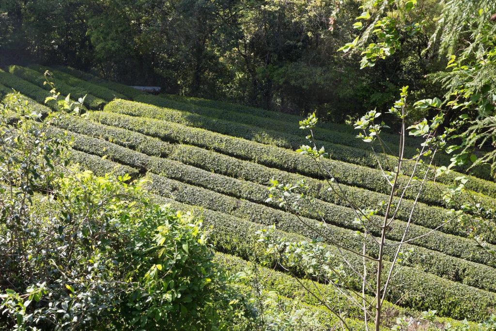Honyama tea field