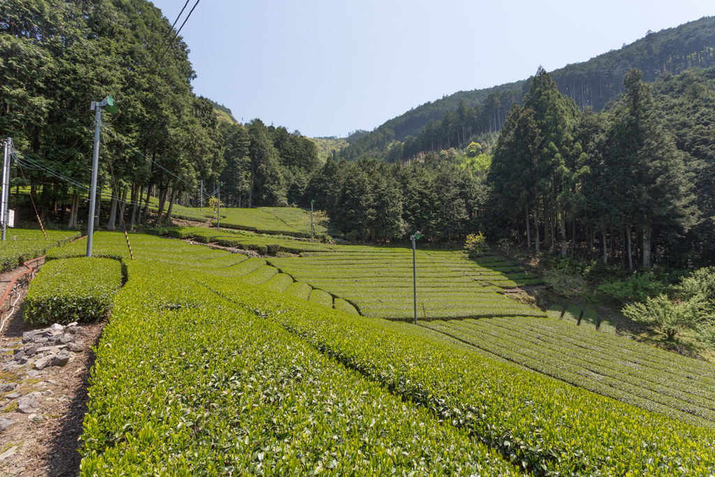 Honyama Teefeld mit Wald